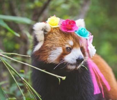 小熊猫嘟嘟拍写真:萌态十足 呼吁大家关爱动物