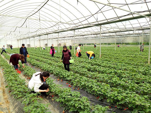 重庆涪陵:桂花苑生态农庄 四种草莓等您来摘