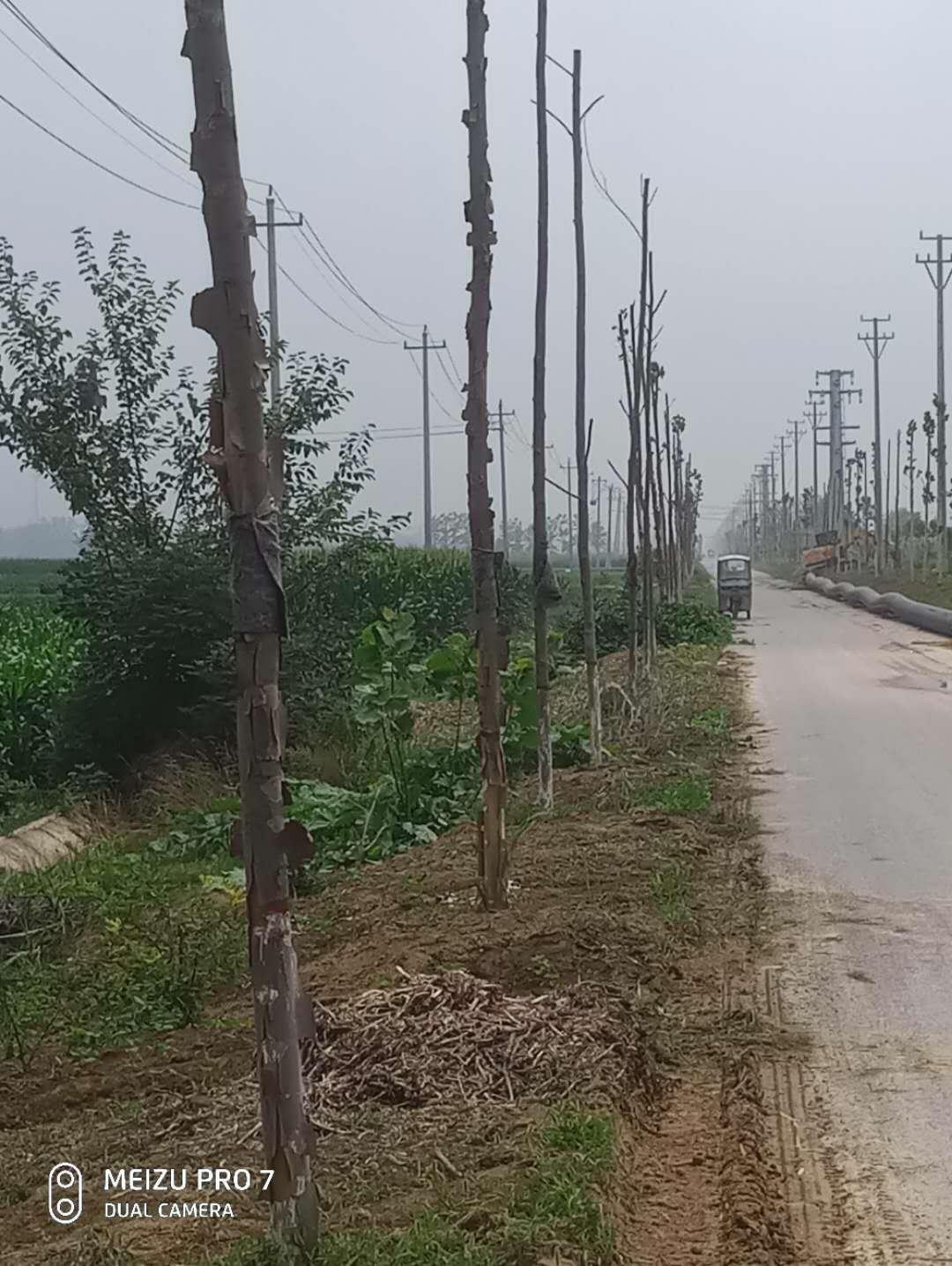 丰县师寨镇年后才栽植的一千多颗泡桐树,绝大部分已死亡